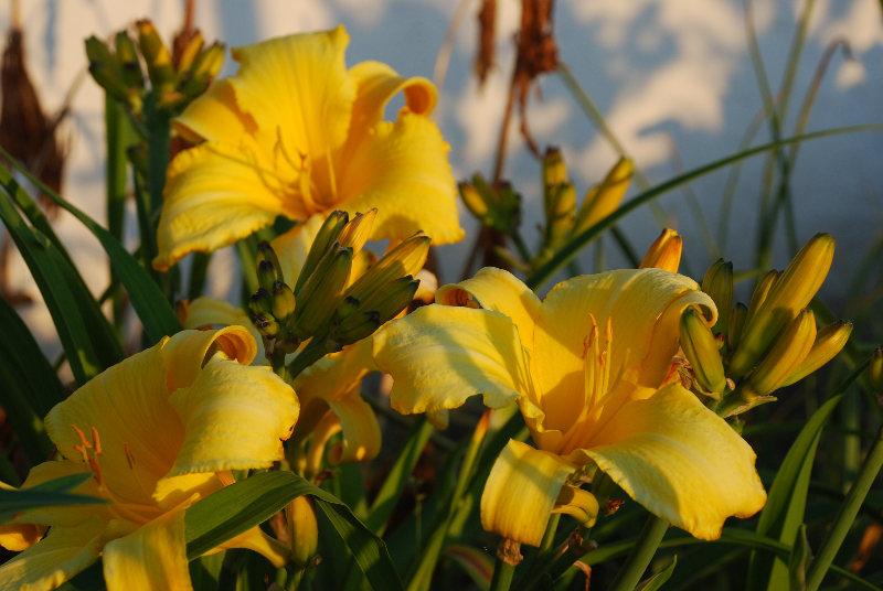 hemerocallis-chicago-sunrise-5