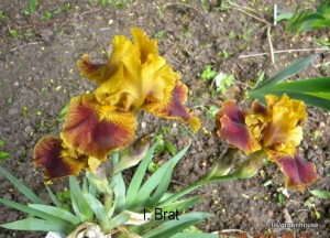 Iris indkøbt fra USA
