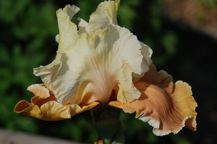 DSC_3905 iris English Charm