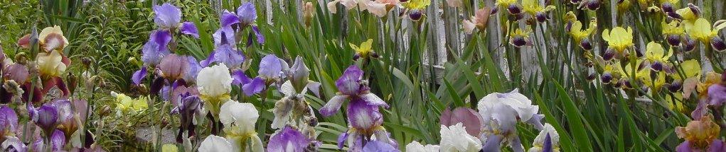 Blandet-Iris-1024x768[1]