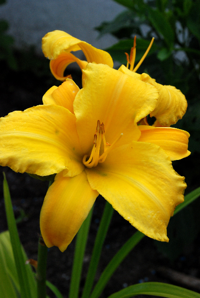 hemerocallis-chicago-sunrise-2